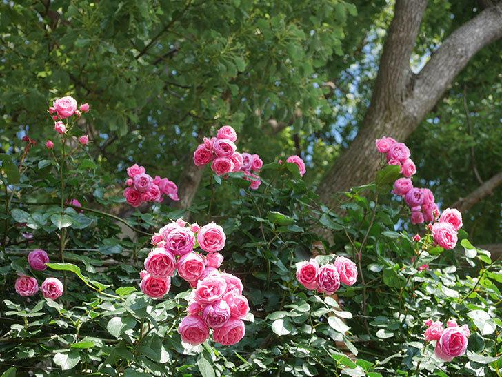 ポンポネッラ(Pomponella)の花がたくさん咲いた。ツルバラ。2021年-137.jpg