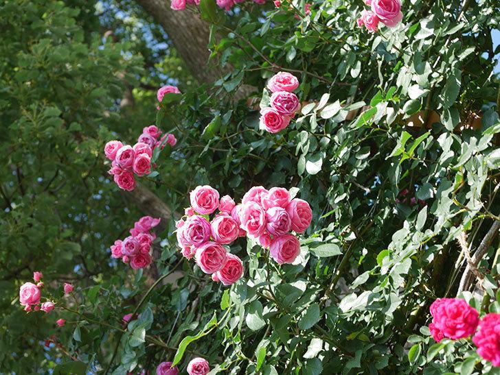 ポンポネッラ(Pomponella)の花がたくさん咲いた。ツルバラ。2021年-138.jpg