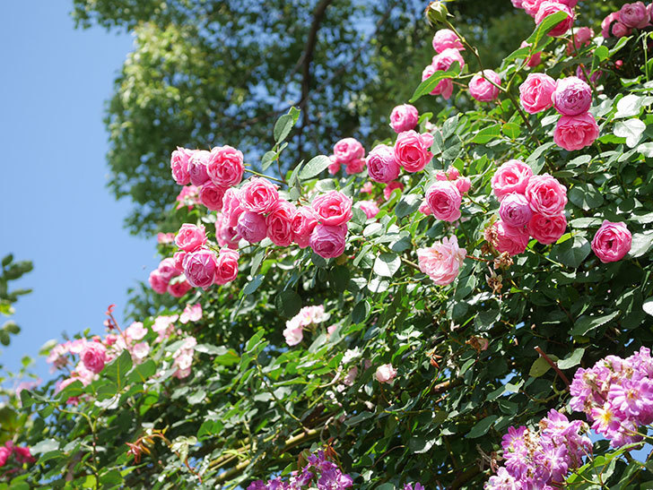 ポンポネッラ(Pomponella)の花がたくさん咲いた。ツルバラ。2021年-139.jpg