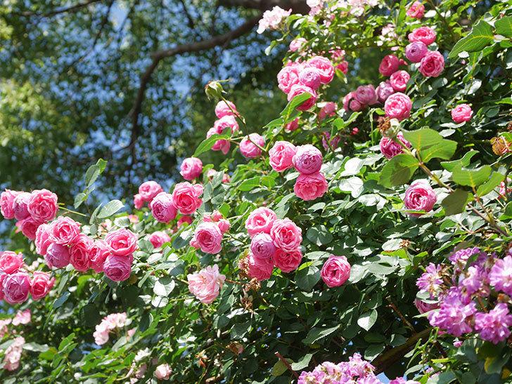 ポンポネッラ(Pomponella)の花がたくさん咲いた。ツルバラ。2021年-140.jpg