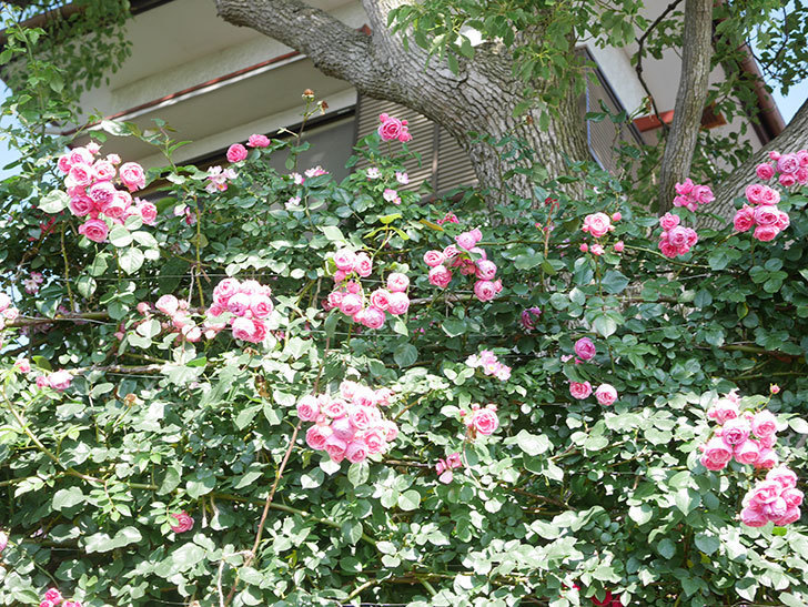 ポンポネッラ(Pomponella)の花がたくさん咲いた。ツルバラ。2021年-141.jpg