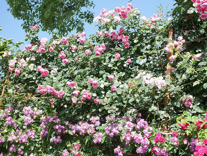 ポンポネッラ(Pomponella)の花がたくさん咲いた。ツルバラ。2021年-142.jpg