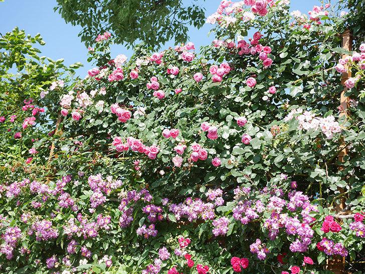 ポンポネッラ(Pomponella)の花がたくさん咲いた。ツルバラ。2021年-143.jpg
