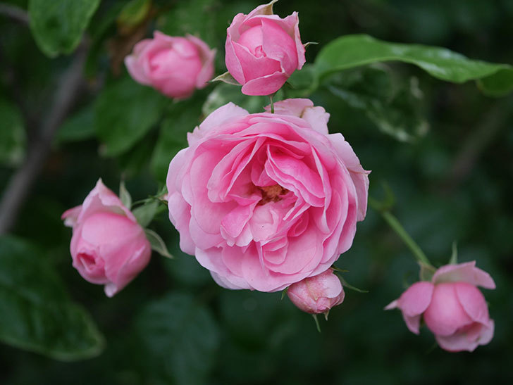 ポンポネッラ(Pomponella)の花が綺麗に咲いた。半ツルバラ。2020年-001.jpg