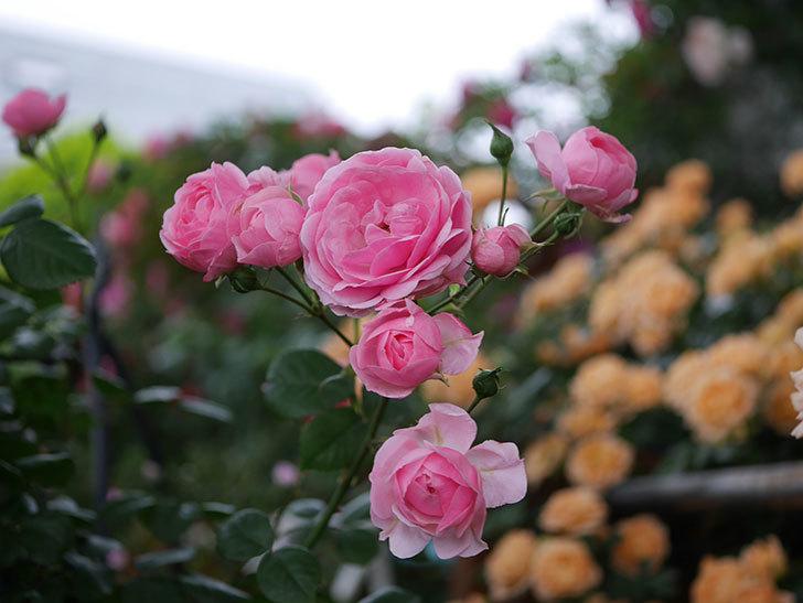 ポンポネッラ(Pomponella)の花が綺麗に咲いた。半ツルバラ。2020年-002.jpg