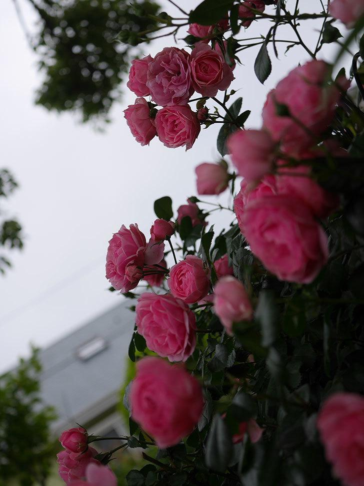ポンポネッラ(Pomponella)の花が綺麗に咲いた。半ツルバラ。2020年-003.jpg