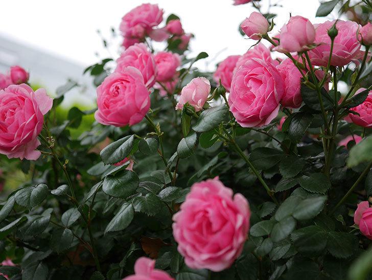 ポンポネッラ(Pomponella)の花が綺麗に咲いた。半ツルバラ。2020年-004.jpg