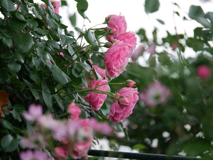 ポンポネッラ(Pomponella)の花が綺麗に咲いた。半ツルバラ。2020年-005.jpg