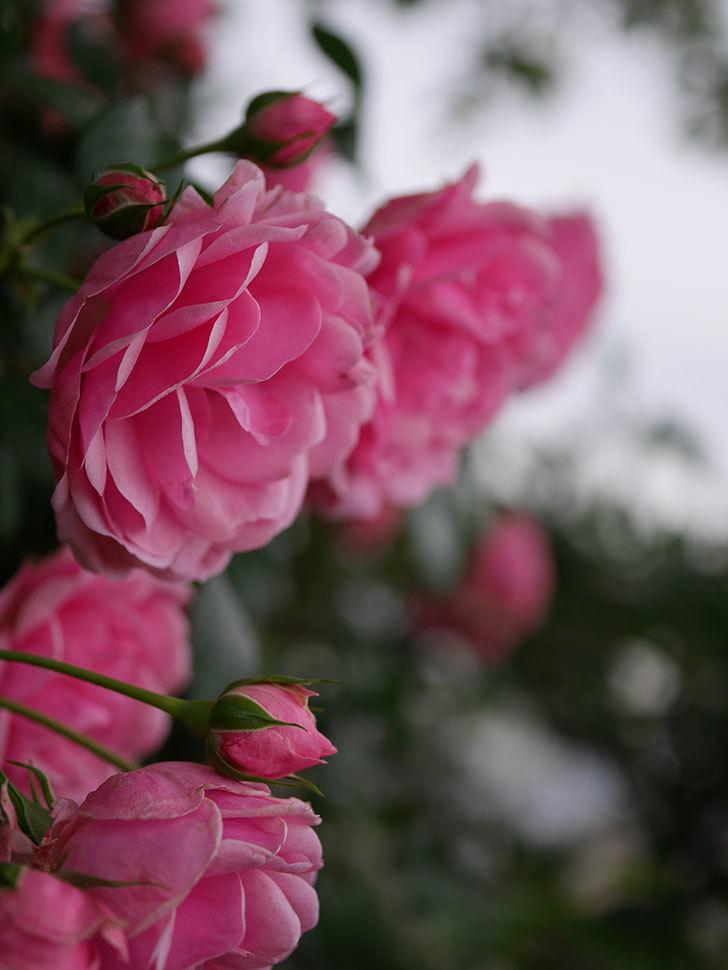 ポンポネッラ(Pomponella)の花が綺麗に咲いた。半ツルバラ。2020年-007.jpg