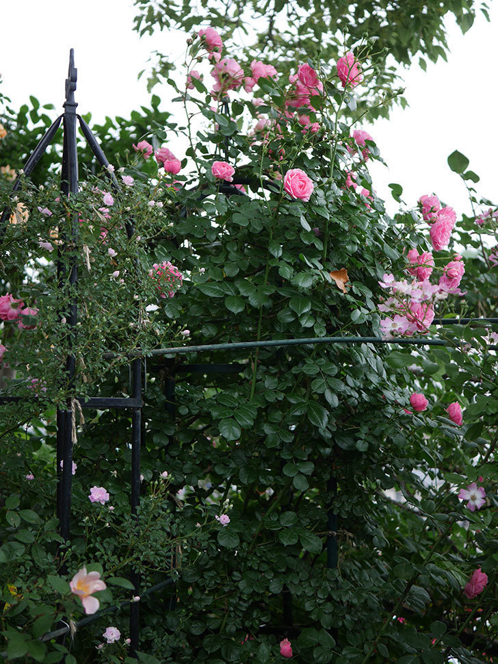 ポンポネッラ(Pomponella)の花が綺麗に咲いた。半ツルバラ。2020年-008.jpg