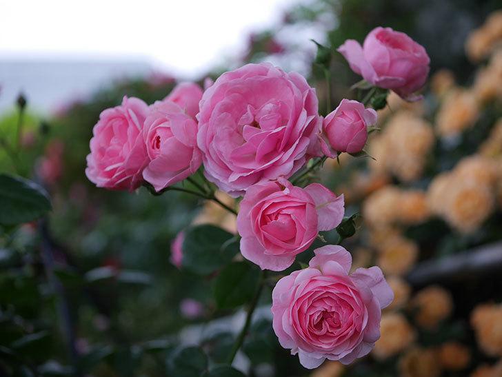 ポンポネッラ(Pomponella)の花が綺麗に咲いた。半ツルバラ。2020年-009.jpg