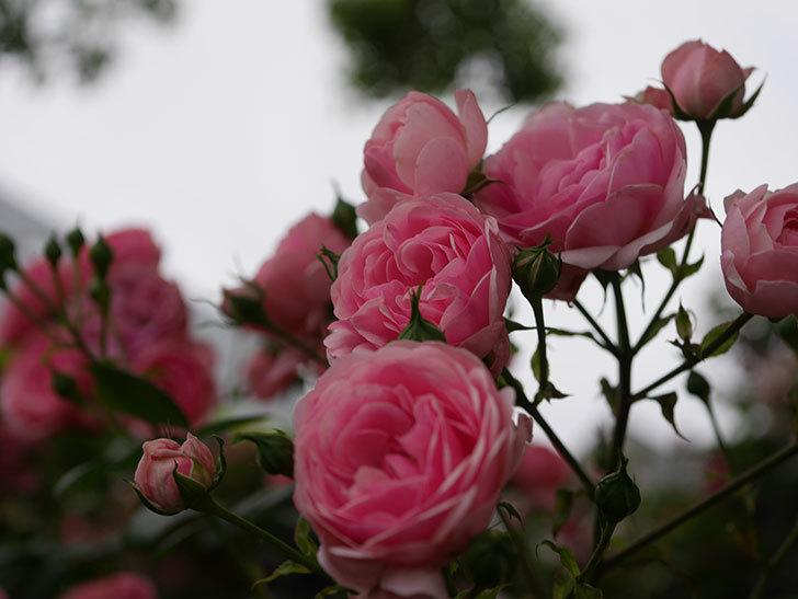 ポンポネッラ(Pomponella)の花が綺麗に咲いた。半ツルバラ。2020年-010.jpg