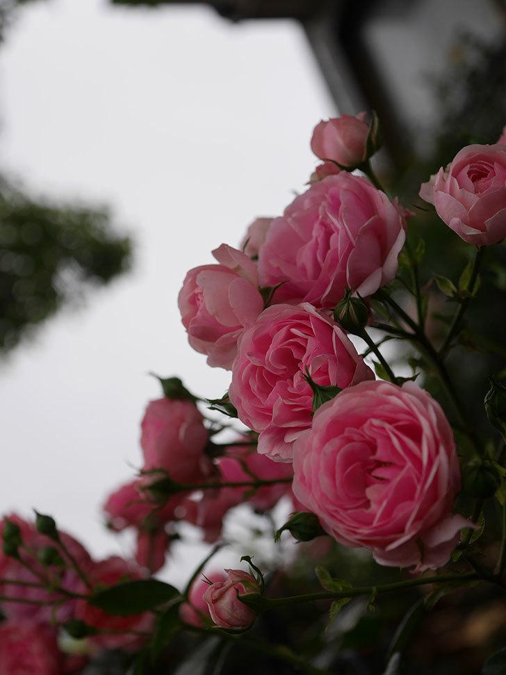 ポンポネッラ(Pomponella)の花が綺麗に咲いた。半ツルバラ。2020年-011.jpg