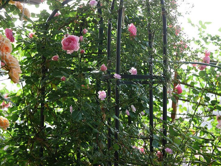 ポンポネッラ(Pomponella)の花が綺麗に咲いた。半ツルバラ。2020年-012.jpg