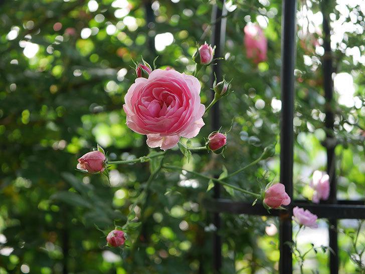 ポンポネッラ(Pomponella)の花が綺麗に咲いた。半ツルバラ。2020年-013.jpg