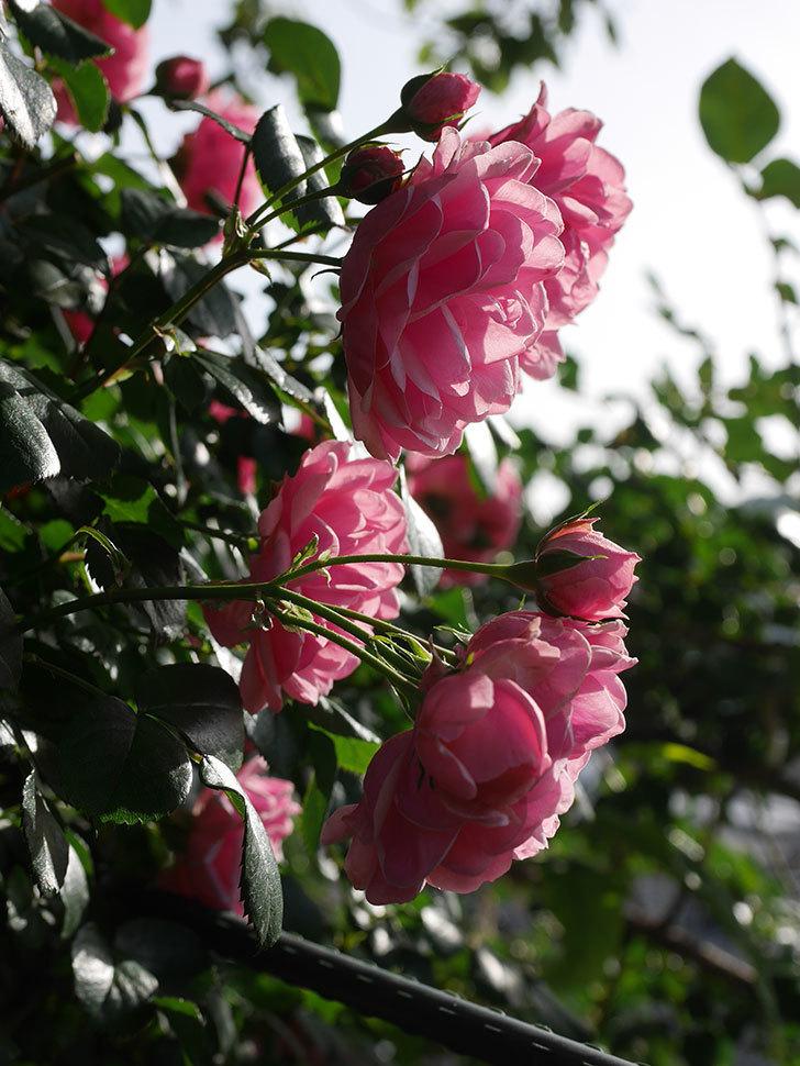 ポンポネッラ(Pomponella)の花が綺麗に咲いた。半ツルバラ。2020年-014.jpg