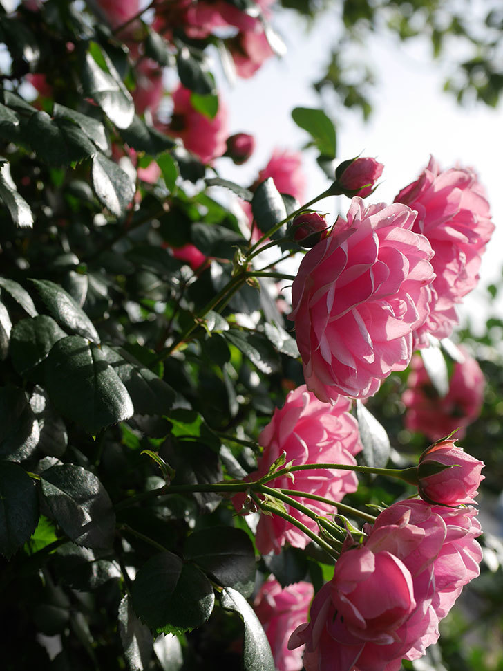 ポンポネッラ(Pomponella)の花が綺麗に咲いた。半ツルバラ。2020年-015.jpg