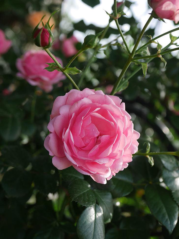 ポンポネッラ(Pomponella)の花が綺麗に咲いた。半ツルバラ。2020年-016.jpg