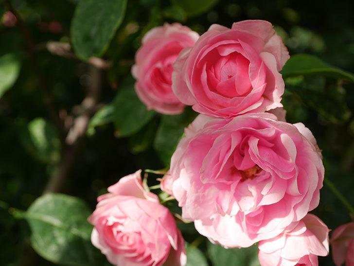 ポンポネッラ(Pomponella)の花が綺麗に咲いた。半ツルバラ。2020年-017.jpg