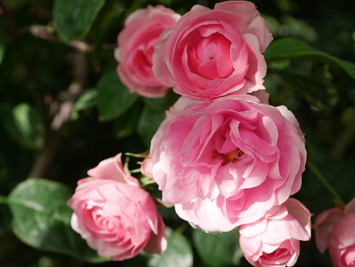 ポンポネッラ(Pomponella)の花が綺麗に咲いた。半ツルバラ。2020年-018.jpg