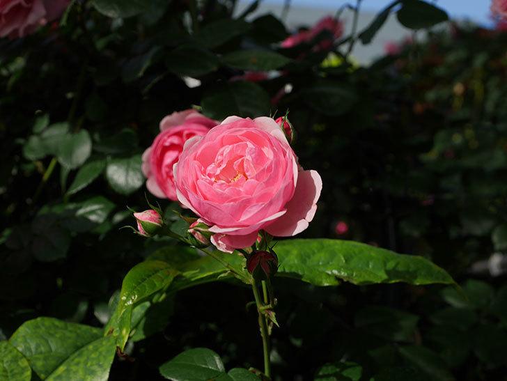 ポンポネッラ(Pomponella)の花が綺麗に咲いた。半ツルバラ。2020年-019.jpg