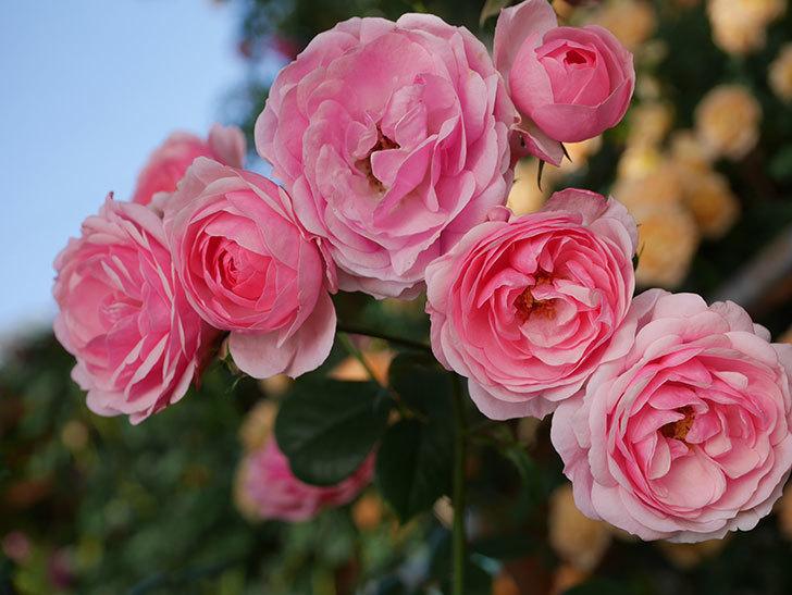 ポンポネッラ(Pomponella)の花が綺麗に咲いた。半ツルバラ。2020年-020.jpg