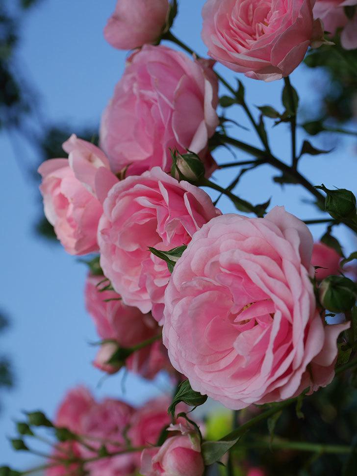ポンポネッラ(Pomponella)の花が綺麗に咲いた。半ツルバラ。2020年-021.jpg