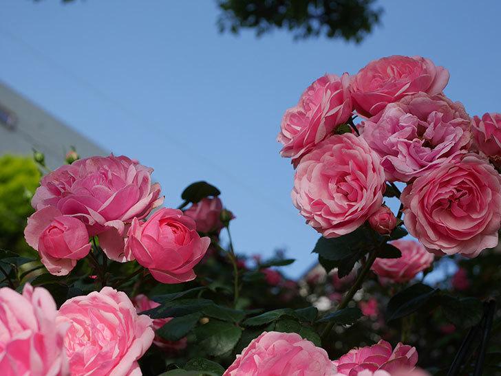 ポンポネッラ(Pomponella)の花が綺麗に咲いた。半ツルバラ。2020年-022.jpg