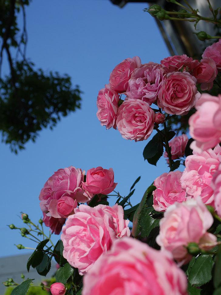 ポンポネッラ(Pomponella)の花が綺麗に咲いた。半ツルバラ。2020年-023.jpg