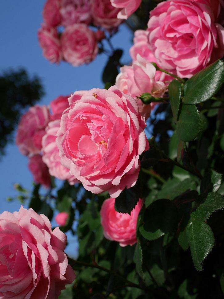 ポンポネッラ(Pomponella)の花が綺麗に咲いた。半ツルバラ。2020年-024.jpg