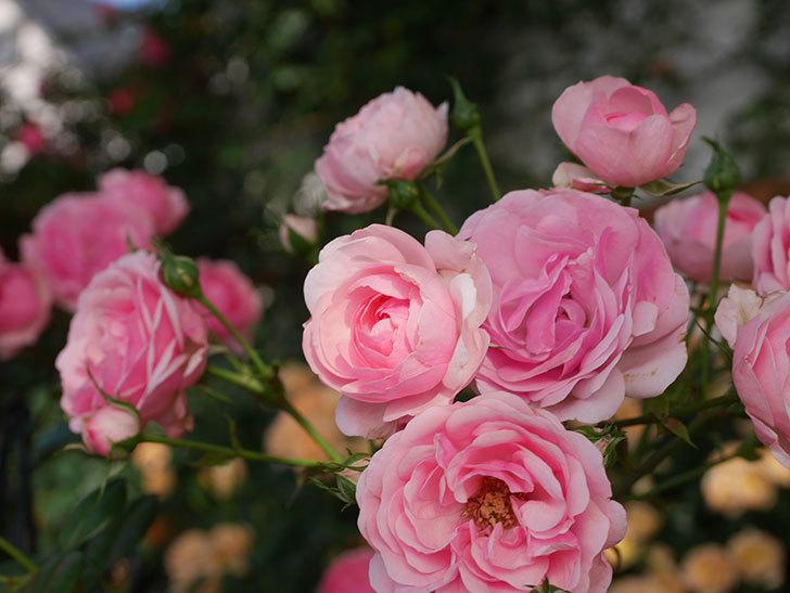ポンポネッラ(Pomponella)の花が綺麗に咲いた。半ツルバラ。2020年-026.jpg