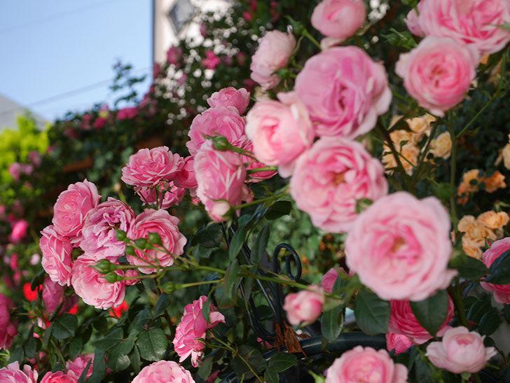 ポンポネッラ(Pomponella)の花が綺麗に咲いた。半ツルバラ。2020年-027.jpg