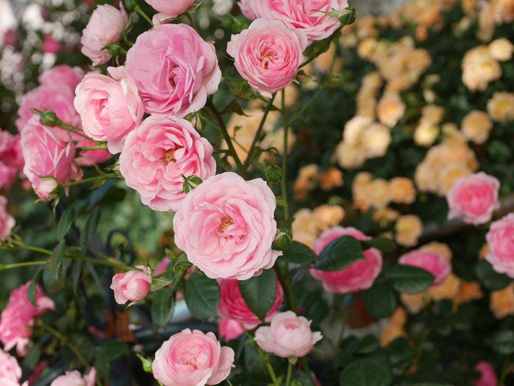 ポンポネッラ(Pomponella)の花が綺麗に咲いた。半ツルバラ。2020年-028.jpg