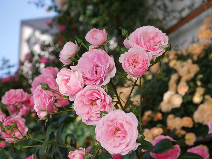 ポンポネッラ(Pomponella)の花が綺麗に咲いた。半ツルバラ。2020年-029.jpg