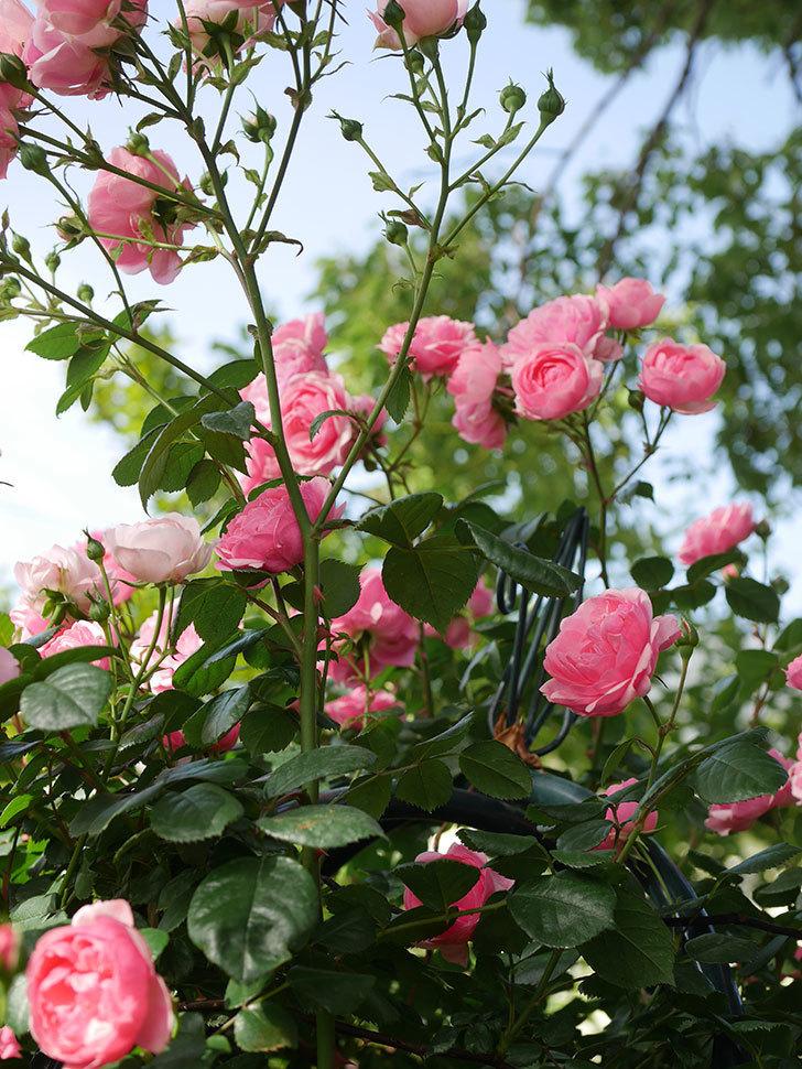 ポンポネッラ(Pomponella)の花が綺麗に咲いた。半ツルバラ。2020年-030.jpg