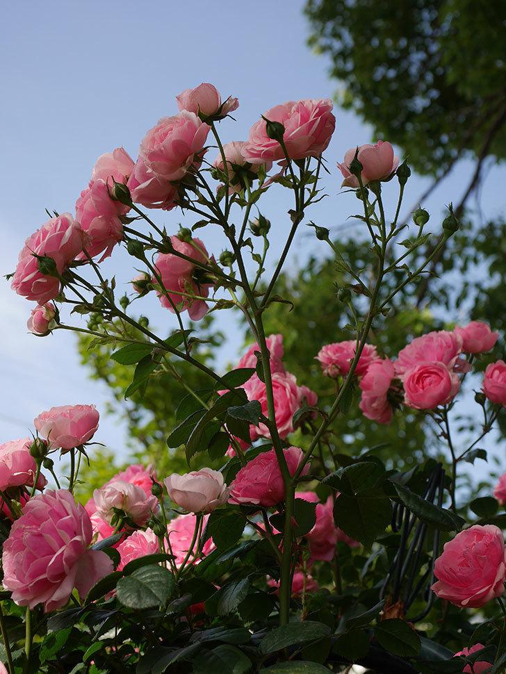 ポンポネッラ(Pomponella)の花が綺麗に咲いた。半ツルバラ。2020年-031.jpg