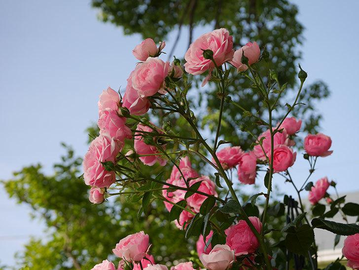 ポンポネッラ(Pomponella)の花が綺麗に咲いた。半ツルバラ。2020年-032.jpg