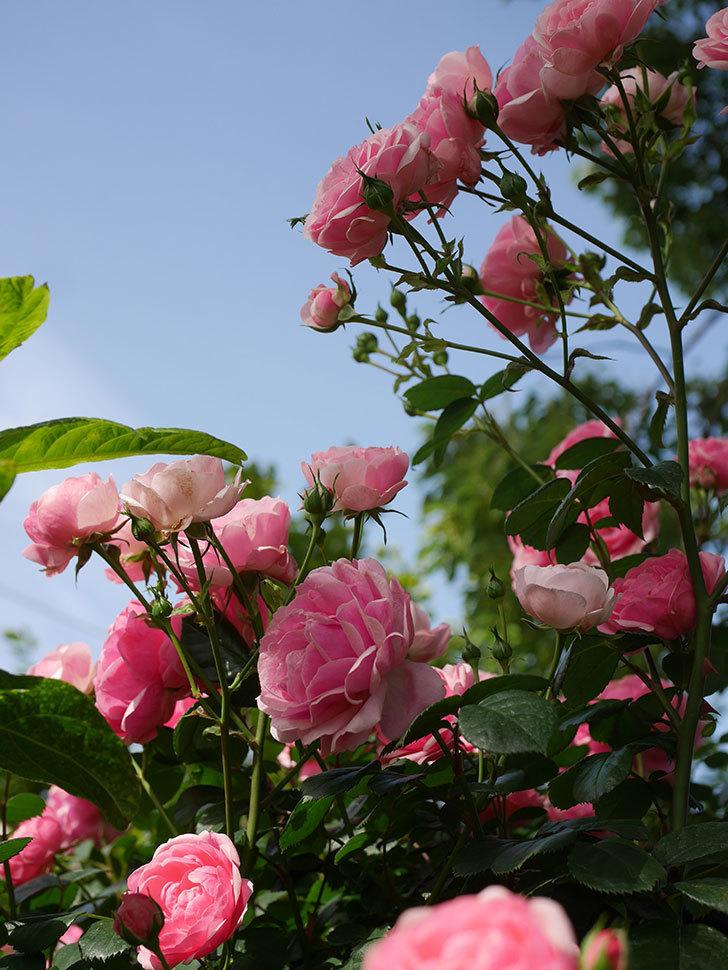 ポンポネッラ(Pomponella)の花が綺麗に咲いた。半ツルバラ。2020年-033.jpg