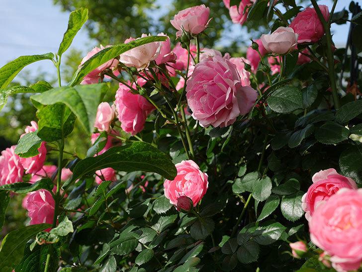 ポンポネッラ(Pomponella)の花が綺麗に咲いた。半ツルバラ。2020年-034.jpg