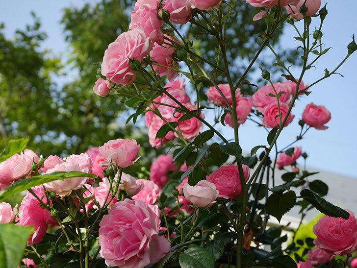 ポンポネッラ(Pomponella)の花が綺麗に咲いた。半ツルバラ。2020年-035.jpg