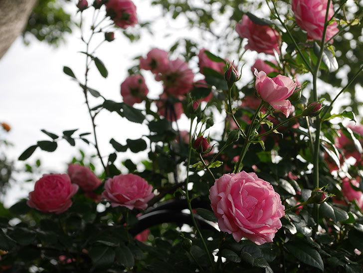 ポンポネッラ(Pomponella)の花が綺麗に咲いた。半ツルバラ。2020年-036.jpg