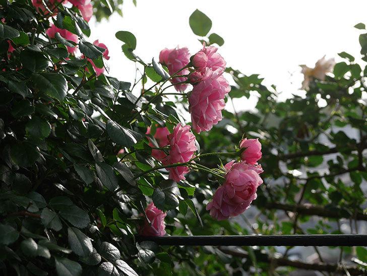 ポンポネッラ(Pomponella)の花が綺麗に咲いた。半ツルバラ。2020年-037.jpg