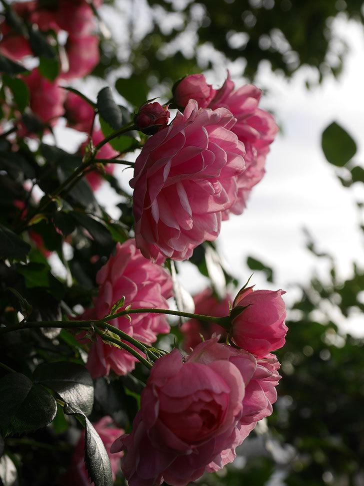 ポンポネッラ(Pomponella)の花が綺麗に咲いた。半ツルバラ。2020年-038.jpg