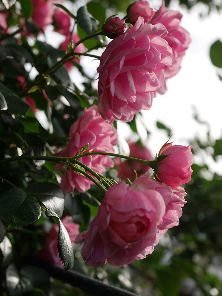 ポンポネッラ(Pomponella)の花が綺麗に咲いた。半ツルバラ。2020年-039.jpg