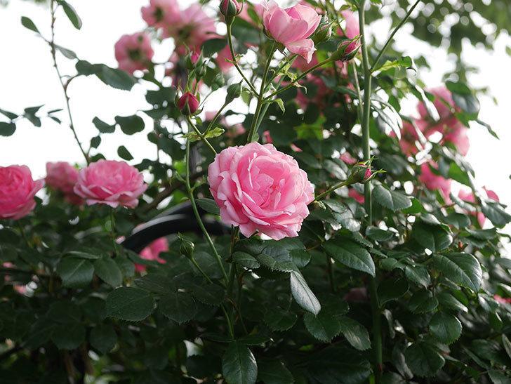 ポンポネッラ(Pomponella)の花が綺麗に咲いた。半ツルバラ。2020年-040.jpg