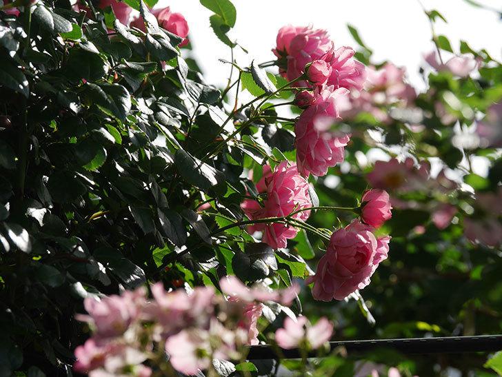 ポンポネッラ(Pomponella)の花が綺麗に咲いた。半ツルバラ。2020年-041.jpg