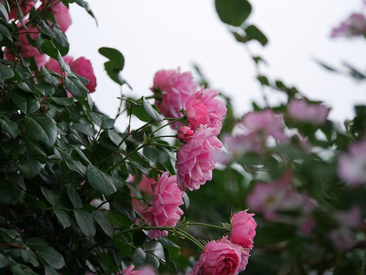 ポンポネッラ(Pomponella)の花が綺麗に咲いた。半ツルバラ。2020年-042.jpg