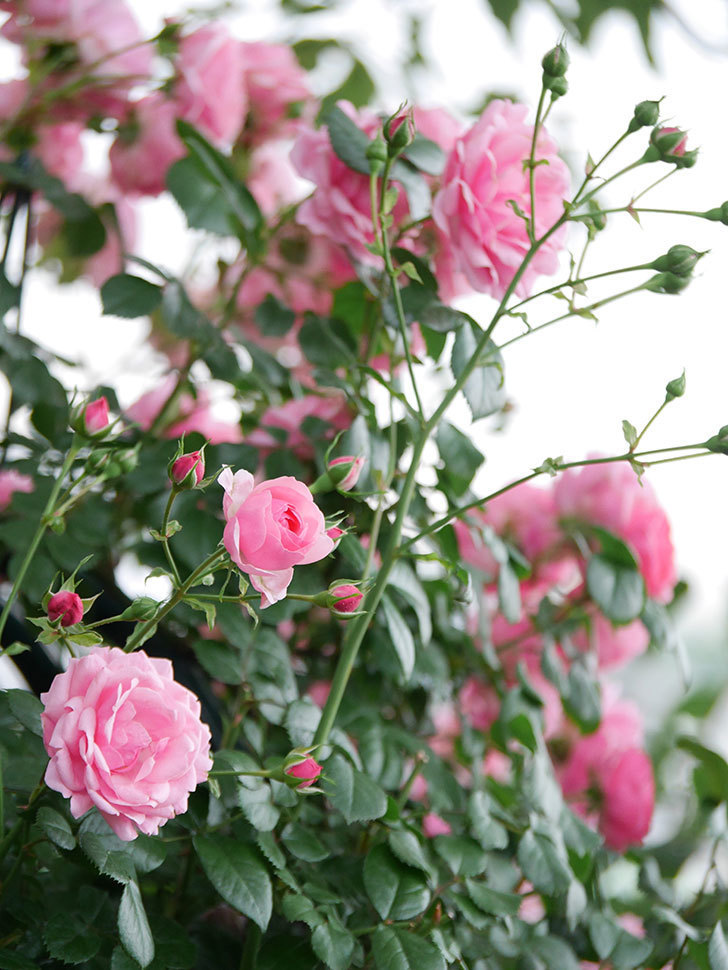 ポンポネッラ(Pomponella)の花が綺麗に咲いた。半ツルバラ。2020年-043.jpg