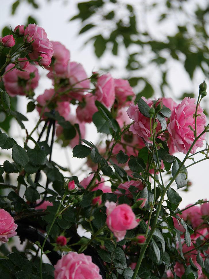 ポンポネッラ(Pomponella)の花が綺麗に咲いた。半ツルバラ。2020年-044.jpg