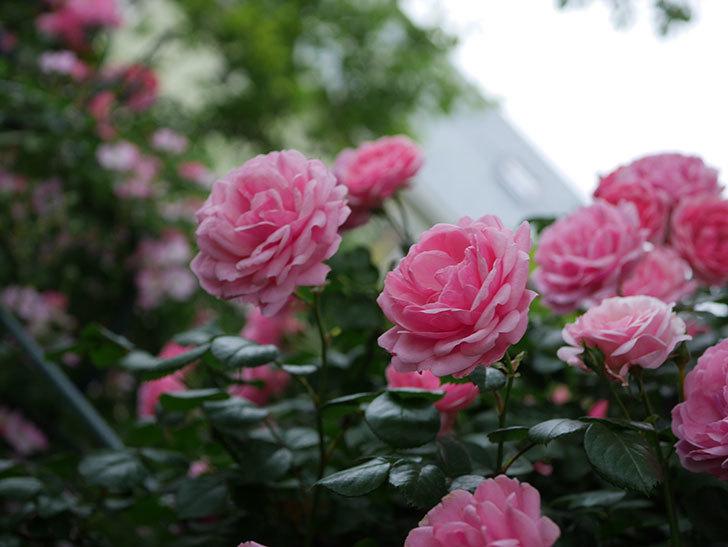 ポンポネッラ(Pomponella)の花が綺麗に咲いた。半ツルバラ。2020年-045.jpg